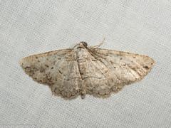 Moth (moonlittrails) Tags: ca county geometridae insecta lepidoptera mrosd montebello moth nationalmothweek otherkeywords santaclaraco inaturalist national week 2014 nmw album2014mothnightmontebello