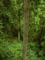 Regenwald-Bäume; Capilano (12) (Chironius) Tags: vancouver kanada canada britishcolumbia baum bäume tree trees arbre дерево árbol arbres деревья árboles albero árvore ağaç boom träd tsugaheterophylla hemlocktanne borke rinde ladrido écorce corteccia schors кора hout bois holz wood legno madera pseudotsugamenziesii douglasie landschaft coniferales koniferen konifere
