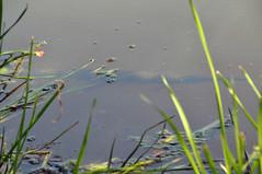 spotted gar 5 (Charlotte Clarke Geier) Tags: fish evening goldenlight nikond300