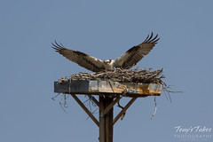 Osprey landing sequence - 9 of 14