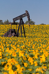 An oil rig is surrounded by blooming sunflowers