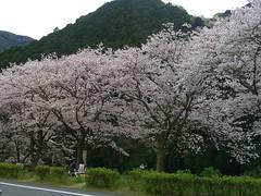 Cherry Blossom Street at Nakagawa River (izunavi) Tags: japan   sakura cherryblossoms izu  nakagawa   matsuzaki     nakagawariver matsuzakitown  cherryblossomstreet izuphoto