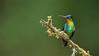 Fiery-throated Hummingbird (Raymond J Barlow) Tags: green bird costarica hummingbird wildlife workshops fierythroated raymondbarlowtours