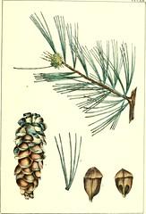 Anglų lietuvių žodynas. Žodis cembra nut tree reiškia cembra riešutų medis lietuviškai.