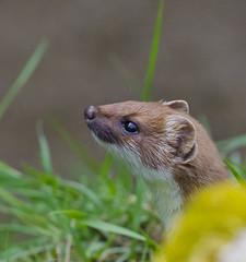 Stoat (malkv (400,000 + Views)) Tags: nature canon dof wildlife stoat 600d malkv