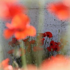 voices fading on the winds of thought (jenny downing) Tags: flowers contrast concrete weeds shade poppy poppies remembrance sunlit lestweforget siegfriedsassoon jennypics jennydowning photobyjennydowning onehundredyearson jennydowning2014