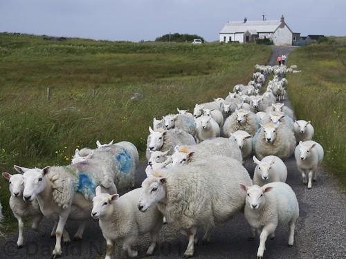 Arinagour traffic jam