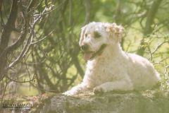 # 16 - Lionking (Lichtermagie) Tags: dog green project milow lion days 365 lionking puli