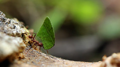 Leaf cutting ant (Andyfrog321) Tags: peru andy expedition animals bug amazon baker wildlife insects bugs jungle arthropods smallcreature worldchallenge