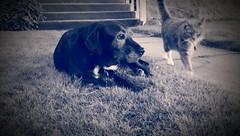 Jojo & Gina (Kenneth Wesley Earley) Tags: sunset summer dog pet pets sepia cat spokane lawn northcentral frontyard spokanewa 99205 blueandwhitephoto emersongarfield oneography htconem8