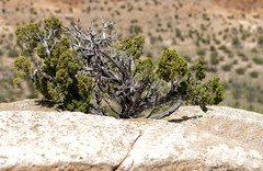 Grow Where You Are Planted (fj40troutbum) Tags: panorama newmexico bokeh juniper canon85mmf18 bandeliernationalmonument northernnewmexico cs5 gregholland brenizermethod tsankowi