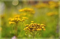 golden buttons  -  Rainfarn (nirak68) Tags: garten tansy tanacetumvulgare rainfarn goldenbuttons