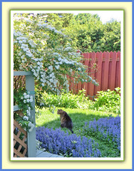 Bebe In the Garden (bigbrowneyez) Tags: flowers summer pet painterly nature beautiful loving alberi cat fence garden fun furry estate mush sweet tail adorable sunny natura dolce frame bebe fiori sole adopted gatto pussycat giardino cornice spirea bello miogiardino ajuba flickrtail bebeinthegarden