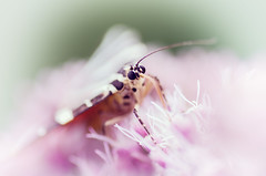 "L'caille chine dans son ""cocon"" (Thomas Vanderheyden) Tags: pink macro nature colors fauna butterfly insect pentax sweet bokeh papillon couleur picardie faune oise doux beautifulearth justpentax ecaillechinee thomasvanderheyden tomtomphotography picartnature"