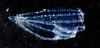 Ctenóforo (moduplan2014) Tags: plankton zooplankton ctenophora moduplan2014