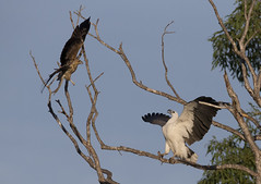 white bellied sea eagle 12 (Jim Bendon) Tags: australianbirds capeyork whitebelliedseaeagle whistlingkite bendon birdsinfilght canon800f56