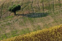 solo (luporosso) Tags: trees shadow naturaleza tree nature alberi nikon country ombra natura ombre campagna sunflowers sunflower albero arbre girasole scorcio girasoli naturalmente scorci nikond300s
