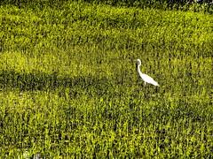 Daegu University Rice Paddies (THE SUBJECT AND LIGHT) Tags: life bird beautiful design asia poetry rice crane earth gorgeous south korea daegu fullness gyeongsan hayang
