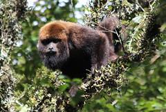 Bugio-ruivo (Alouatta guariba)- Brown Howling Monkey (Joo Andriola) Tags: bugio macaco monkey alouatta guariba clamitans alouattaguaribaclamitans palmas paran brazil brasil wildlife primata