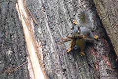 Squirrel in stanley park Vancouver - CANADA (Yannick-R) Tags: park canada tree animal vancouver squirrel bc columbia stanley surprised british yannick rivoire