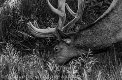Yellowstone National Park (outrédurf) Tags: vacation usa nature nationalpark wildlife roadtrip deer yellowstonenationalpark yellowstone elk bison