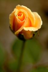 Yellow Rose (dennisgg2002) Tags: columbus ohio flower macro up rose close oh
