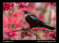 Tui 04 (Black Stallion Photography) Tags: pink blue red newzealand white black green bird eye yellow season photography spring branch wildlife blossoms beak feathers parson stallion tui igallopfree