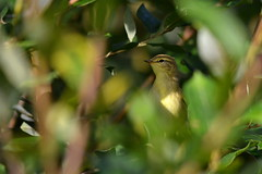 Leaf Warbler (edward.butleredb) Tags: bird meadows warbler migrant fishlake