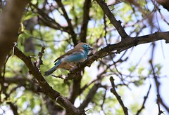 Blue Waxbill (zenseas) Tags: africa wild namibia etosha campgrounds waxbill bluewaxbill namutoni etoshanationalpark uraeginthusangolensis