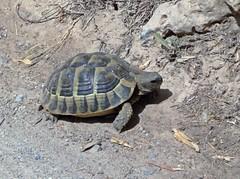 Tortoise (Bricheno) Tags: espaa island spain espanha mediterranean tortoise mao tortuga menorca spanien mahn ma spagna portmahon spanje baleares mahon minorca  espanya balears  illesbalears balearics hiszpania islasbaleares   bricheno