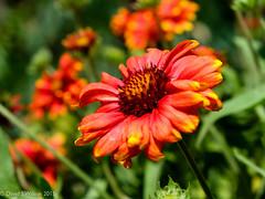 Gaillardia (David S Wilson) Tags: uk flowers red summer england flower floral garden ely gaillardia fens flowersplants 2015 davidswilson fujifilmxt10 fujifilmxf1855mmf284lmois