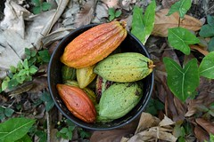 Cacao Colombia