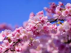 Oh-kanzakura at Shinjuku Gyoen - 1 (gemapozo) Tags: garden sakura pentax cherry blossom 645z park tokyo okanzakura japan shinjukugyoen 渋谷区 東京都 日本 jp smcpentaxa645120mmf4macro 新宿御苑 大寒桜 オオカンザクラ