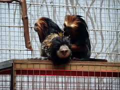 antwerp_6_006 (OurTravelPics.com) Tags: antwerp geoffroys marmoset goldenheaded lion tamarins monkey building zoo