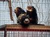 antwerp_6_006 (OurTravelPics.com) Tags: antwerp geoffroys marmoset goldenheaded lion tamarins monkey building zoo