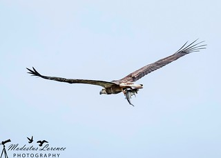 Juvenile white-bellied sea eagle