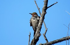 Blowin' in the Wind (Patricia Henschen) Tags: colorado sanluisvalley northern flicker bird songbird alamosacolorado alamosa riogrande river riogranderiver trail winter rural