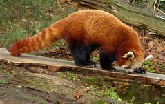 Red panda - Rode panda in Ouwehands Dierenpark (joeke pieters) Tags: 1310456 panasonicdmcfz150 rodepanda klienepanda katbeer ailurusfulgens redpanda kleinerpanda petitpanda pandaroux ouwehandsdierenpark rhenen gelderland nederland netherlands holland platinumheartaward ngc