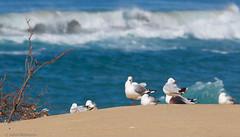 Seagull idyll (aaardvaark) Tags: 201702221d9844silvergull45x26 silvergull chroicocephalusnovaehollandiae capeconran vic australia