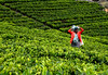 Tea picker (MelindaChan ^..^) Tags: haputale srilanka 斯里蘭卡 tea picker teapicker worker labor life people folks culture plantation green field plant agriculture woman lady