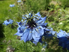 love in the mist (rospix) Tags: uk flowers blue flower macro nature june wales countryside nigella 2014 rospix