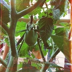 Entdeckung des Tages.  #Tomate #Balkon #balcony #Tomate #tomato #vegan #vegetable #Gemüse #diy #gärtnern #garten #garden #enjoy #life #nice