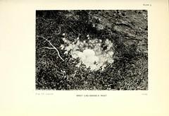 n32_w1150 (BioDivLibrary) Tags: birds nest lapland eggs scientificexpeditions taxonomy:binomial=anseranser taxonomy:common=greylaggoose fieldmuseumlibrary descriptionandtravel bhl:page=40161643 dc:identifier=httpbiodiversitylibraryorgpage40161643