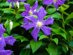 clematis 'Perle d'Azur' (wnkremer1) Tags: flowers blue garden vines clematis blueflower blueflowers