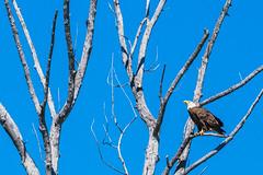 Proud (csirnak) Tags: canada color colour detail tree bird river peace bc eagle sony feathers bald feather sharp raptor perch peaceriver talons sal70400g sal70400 sal70400g2 70400gii a77ii sal70400gii