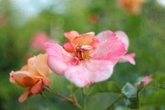 """Lens painting"" :-) (fxdx) Tags: old flower nature rose painting lens bokeh m42 manual pentacon 29mm"