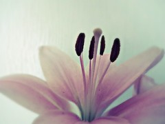 Lily (jayneyyy) Tags: flowers plants flower colour nature beautiful beauty petals stem soft pretty colours lily pastel lilies pastels plantlife pastelpink pastelcolours pastelblue
