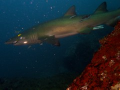 propeller wound grey nurse (ce2de2) Tags: ocean fish shark underwater diving scubadiving reef coffsharbour greynurseshark southsolitaryislands visibility1015m