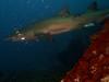 propeller wound grey nurse (ce2de2) Tags: ocean fish shark underwater diving scubadiving reef coffsharbour greynurseshark southsolitaryislands visibility1015m