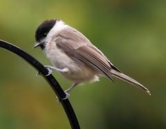 Marsh Tit - Explored (warren hanratty) Tags: nature wildlife gloucestershire explore nailsworth marshtit wildbird poecilepalustris explored ef100400mmf4556lisusm inexplore warrenhanrattyphotography